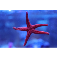 Red Fromia Star