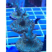 Sustainable Reefs Frag Aqua Man