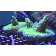 Sustainable Reefs Frag Ying Yang