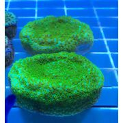 Sustainable Reefs Frag Melted Rainbow Monti