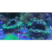 Sustainable Reefs Frag Purple & Green Psamacora